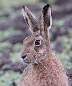 Beautiful Brown Hare by Dan Belton ( NO BADGER CULL ), via Flickr