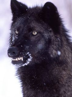 Black Timber Wolf | Black Timber Wolf Snarling, Utah, USA Posters