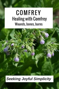 "Comfrey, also known by the descriptive name ""knit bone"", is an excellent plant with a long history of healing cuts, abrasions, bruises, torn ligaments, tendons, and broken bones. I experienced first hand the powerful healing of comfrey. Learn about the many benefits of comfrey for wounds and ways to use comfrey."
