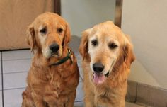 These are Mickey & Minnie 8-9 yr old brother & sister. Minnie's bottom front teeth were so worn down from trying to chew through a gate that the few that were left were pulled and she has had several litters of puppies. Mickey is underweight and had a growth removed from his neck. They are very bonded & look to each other for security & are devoted to each other. They need to find a forever home together and are at Golden Retriever Rescue So. Nevada.