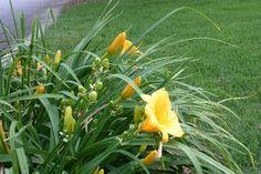 Making daylilies bloom again :: Hometalk