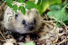hedgehog in the wood
