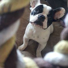 """""""Just gimme the TOY, Hooman!!"""", Lenny the French Bulldog is NOT amused, @lenny_the_frenchie on instagram."""