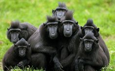 A group of Crested Macaques, more used to tropical rainforests in Indonesia, huddle together for warmth at Dublin Zoo  Picture: Niall Carson/PA