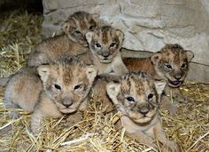 Five Lion Cubs are the Pride of Omaha