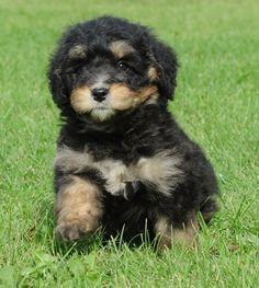 Mini Bernedoodle (Bernese Mountain Dog + Poodle)