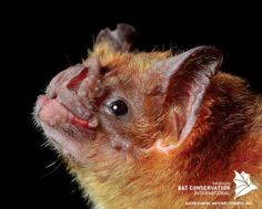 Of the 3 vampire species in the world, the common vampire bat is the only one that prefers to feed on mammals, primarily domestic livestock (the other two species feed primarily on birds). The common vampire bat can be distinguished from Hairy-legged and White-winged vampires by its longer thumb. Vampire bats are very agile and can even run!
