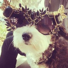 #mascota #diamantes #oro  #beautifol #dog #fashion