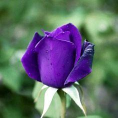 Purple Roses, Most Beautiful, Kitty, Flowers, Plants, Little Kitty, Kitty Cats, Purple Rose, Kitten