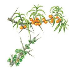 Sea Buckthorn Tree (Hippophae rhamnoides) (This small, deciduous shrub can be found growing on exposed, windy coastlines in salty conditions...)