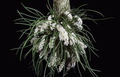 Micro Orquídea Capanemia Superflua