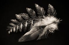 Fern and Feather Ferns, Black And White Photography, Still Life, Art Photography, Angeles, Feather, Facebook, Flowers, Beauty