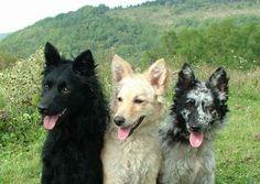 Mudi.Hungarian Shepherd. Color variations
