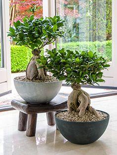 Ficus Ginseng Bonsai im Luxe Fiona Schüsseltopf - Bonsai Anbau Bonsai Tree Care, Bonsai Art, Bonsai Plants, Bonsai Garden, Succulents Garden, Garden Plants, Indoor Plants, Planting Flowers, Bonsai Trees