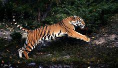 Google Image Result for http://www.deviantart.com/download/149814401/jumping_tiger_by_wolveskeeper.jpg