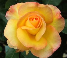 Solitaire rose by Sam McGredy