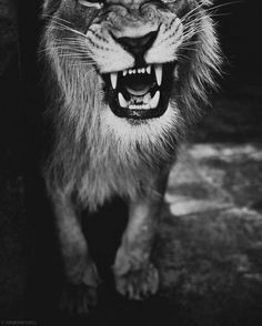 #Danger #Agressive #Lion