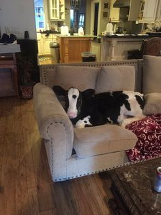 Rescued cow thinks that he is a dog! ❤️❤️