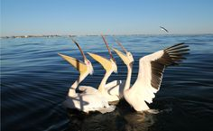 Pelicans, Swakopmund I Am An African, Land Of The Brave, Victoria Falls, Travel Photos, Traveling, Birds, Country, Places, Viajes