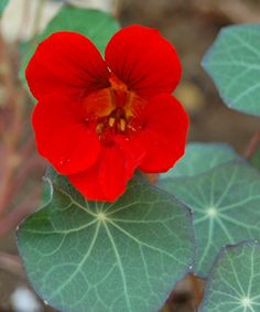 Nasturtium 'Empress of India' - Very easy to grow this heirloom variety attracts hummingbirds. Flowers and leaves are edible and can be tossed in a salad. Sun to part shade.