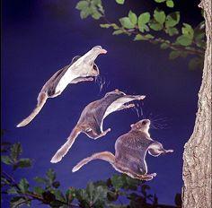 japanese dwarf flying squirrel | Tumblr