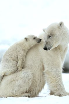 Polar Bears by Yves Adams