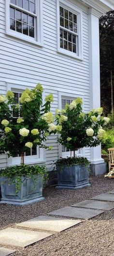 Hydrangea paniculata 'Limelight', large white blooms tinged with pale green; trailing Ivy at the base spills over the sides of the classy zinc planter boxes. Baltic Ivy (variegated creamy edge) would combine well too.