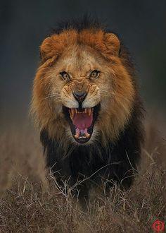 Löwe wunderschön!!!!!