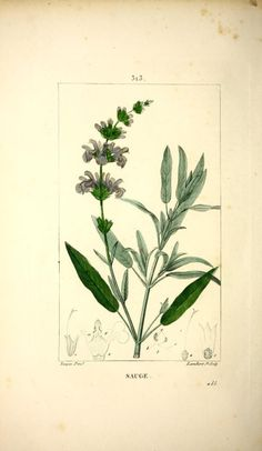 Sage.  Illustration taken from 'Flore Medicale' by M. M. Chaumeton, Poiret, Chamberet. Illustrations by E. Panckoucke, M. J. Turpin.  Smithsonian Libraries