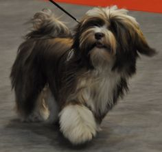 havanese | Colors / Colours in Havanese - Havaneser Farben - info chocolate brown ...