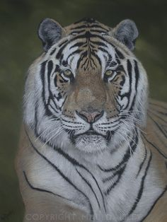 Panthera tigris, drawing using pastel pencil. For sale. Please contact me if interested.