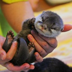 goal in life: pet otter like this Super Cute Animals, Cute Baby Animals, Funny Animals, Happy Animals, Animals And Pets, Wild Animals, Baby Sea Otters, Otter Love, Tier Fotos