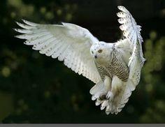 16 Best Burung Hantu Images Owl Beautiful Owl Birds
