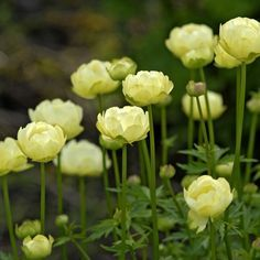 "Trollius ledebouri ""Lemon Queen"" Herbaceous Perennial has lemon-yellow double flowers and a nice compact habit. Sometimes called Buttercups, these grow well in a sunny or part-shaded border, also at the edge of a moist woodland. Flowers will last a few days when cut.  Flowering Time Spring, Summer. Sun or Partial Shade. Height 50-60cm (20-24) Spread 45-60cm (18-24"") Flowers For Cutting/Drying, Moist Soil, Pest Resistant. Type of garden Cottage Garden, Wildflower Garden, Woodland Garden"