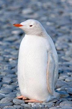 Rare white penguin