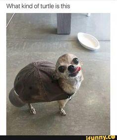 chihuahua, doggo, turtle, cap, cute