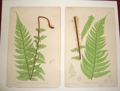 Original Antique 19th Century Fern Prints by Henry by CoosBaybee, $15.00