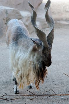 Markhor a large species of wild goat in northeastern Afghanistan, northern Pakistan, some parts of India, southern Tajikistan and southern Uzbekistan.