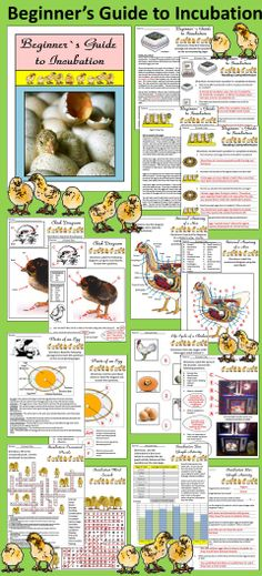 Beginner's Guide to Incubation: This packet gives an in-depth study of the incubation of chicken eggs.   Contents include: * 13 pages of reading selections and short answer questions * Egg Incubation Journal Sheets * Chick Growth Journal Sheet * Parts of an Egg Diagram & Worksheet * Chick Diagram & Worksheet * Hen Anatomy Diagram & Worksheet * Life Cycle of a Chicken Worksheet * Brooder Diagram Worksheet * Incubation Crossword Puzzles * 3 Word Searches * Bar Chart Activity