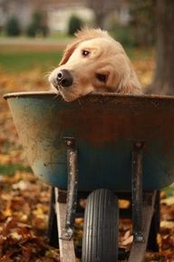 Aren't I adorable...?  Won't you please take me for a ride?  Please... please.... I love riding in the wheelbarrow!  Look at those eyes... how could anyone say no to this sweet fellow!