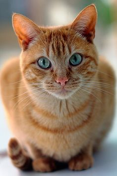 """beautiful <3     Awww, just like my late """"Scooter Poo"""". Except he had yellow eyes and they were crossed, but he was such a smart and loving cat. I miss him so much!  qb"""