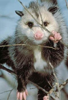 Opossum. This is one of my favorites animals -- marsupial, nocturnal, well-adapted to survive human onslaught of their environment. I usually root for the underdog, but in this case, I will root for the Opossum. Why do people think they are ugly?
