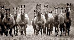 The herd - the thunderous sound of horses hooves!