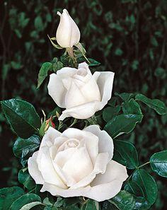 White Roses, White Flowers, Flower Garden Design, Beautiful Rose Flowers, Annual Flowers, Colour Pallette, Rose Art, Diy Canvas, Summer Colors