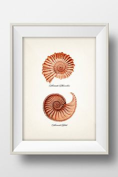 Orange Spiral Seashells (Ammonites)- 8x10 - Fine art print of a vintage natural history antique illustration,