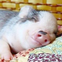 Miniature Pet Pigs – Why Are They Such Popular Pets? – Pets and Animals Cute Baby Pigs, Cute Piglets, Cute Baby Animals, Funny Animals, Farm Animals, Baby Piglets, Teacup Pigs, Pet Pigs, Tiny Pigs