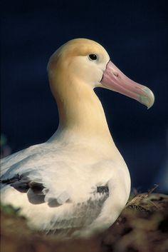 Short-tailed Albatross aka Steller's Albatross - Phoebastria albatrus