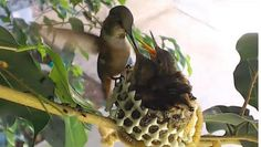 Bella Hummingbird feeds her nestlings