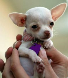 Effective Potty Training Chihuahua Consistency Is Key Ideas. Brilliant Potty Training Chihuahua Consistency Is Key Ideas. Chihuahua Puppies, Cute Puppies, Cute Dogs, Dogs And Puppies, Doggies, Teacup Chihuahua, Fennec, Mundo Animal, Puppy Pictures