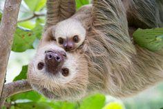 ナマケモノが動かないというのは、よくある誤解の一つだと、動物学者のベッキー・クリフ氏は話す。彼女は、新刊書を通じて、そういった誤解を払拭したいと考えている。